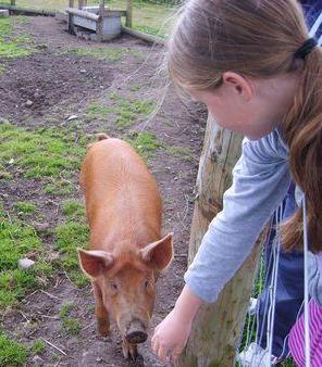 Child feeding pig